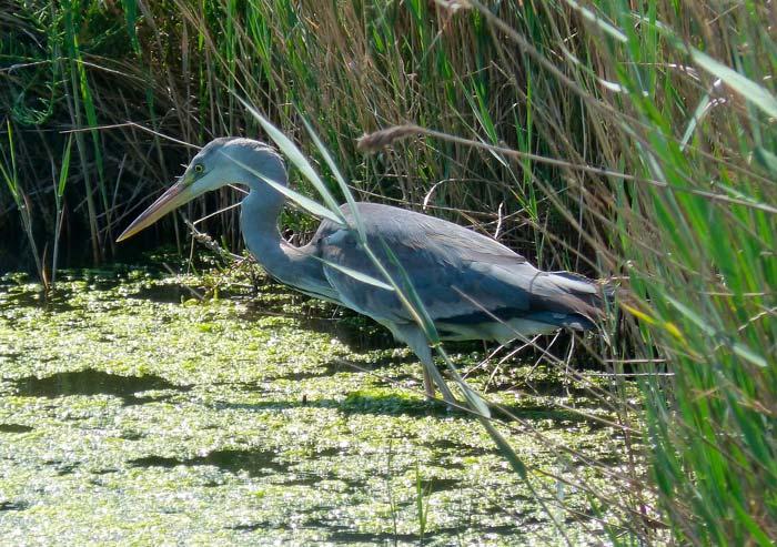 Aves del Delta del Ebro